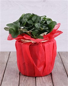 flowers: Strawberry Plant in Red Tissue Paper!