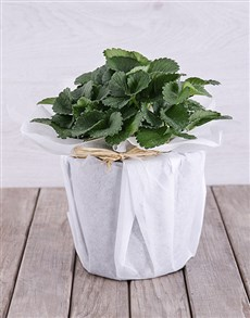 flowers: Strawberry Plant in White Tissue Paper!