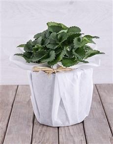 plants: Strawberry Plant in White Tissue Paper!