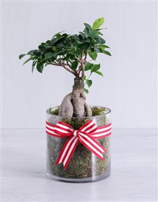 gifts: Ficus Bonsai Tree in Red Ribbon Cylinder Vase!