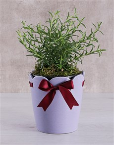 plants: Rosemary Plant in Ceramic Pot!