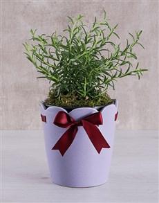 plants: Rosemary Plant in Ceramic Pot!