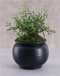 plants: Rosemary Plant in Black Pottery!