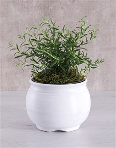 plants: Rosemary Plant in White Pottery!