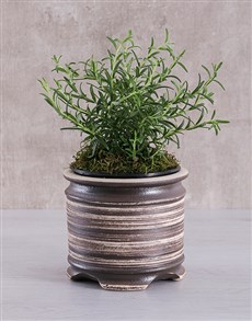 plants: Rosemary Pot Plant!