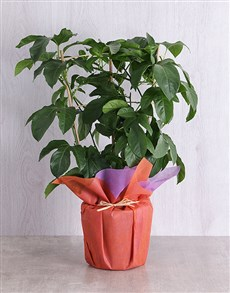 plants: Wrapped Granadilla Fruit Tree Plant !
