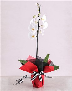 plants: White Phalaenopsis Orchid Romance!