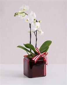 flowers: Midi White Phalaenopsis Orchid Vase!