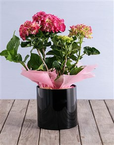 flowers: Pink Hydrangea in Black Cylinder Vase!