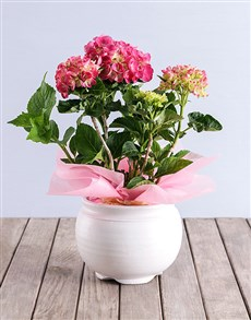 plants: Pink Hydrangea in White Pottery!