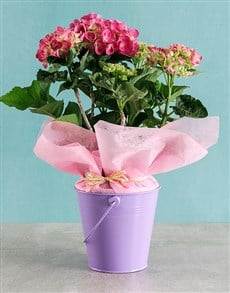 plants: Pink Hydrangea in Purple Bucket!