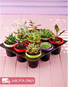 plants: Nine Cacti in Brightly Coloured Pots!