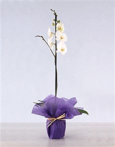plants: Single Phalaenopsis Orchid in Wrapping!