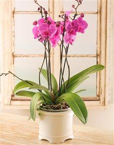 plants: Multi Stem Orchid in a Cream Planter!