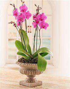 plants: Multi Orchid in a Pedestal Pot!