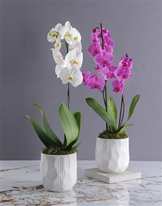 flowers: Grand Orchid in White Ceramic Pot!