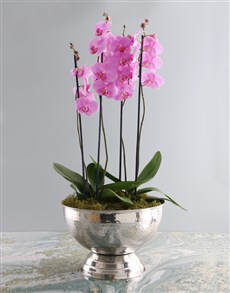 flowers: Multi Stem Orchids in a Large Silver Chalice!