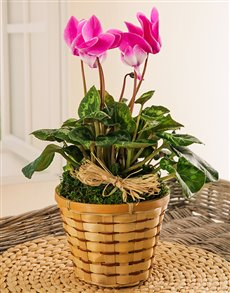 plants: Cyclamen in a Basket!