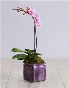 plants: Mini Orchid in a Square Purple Vase!