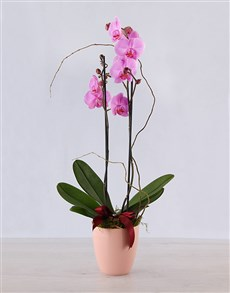 plants: Edith Venter Luxurious Pink Phalenopsis Orchid!