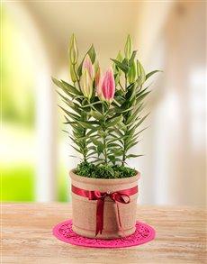 plants: Edith Venter Blooming Beautiful Stargazer Plant!