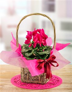 Flowers - Basket : Edith Venter Forever a lady Cyclamen Basket!