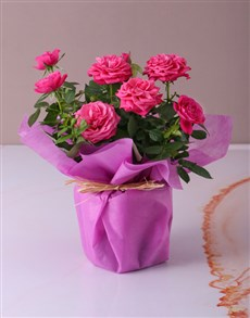 gifts: Cerise Rose Bush in Wrapping!