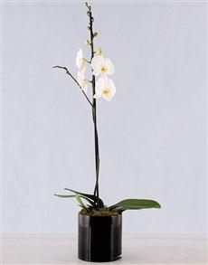 flowers: Amor Vittone Elegant Orchid!