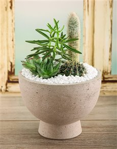 plants: Cacti And Succulent Mix In A Pot!
