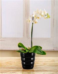 plants: Amor Vittone White Elegance!