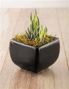 gifts: Succulent in a Black Pottery Vase!