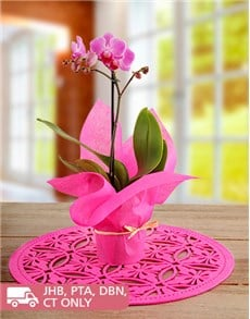 gifts: Midi Phalaenopsis Orchid Wrapped in Pink!