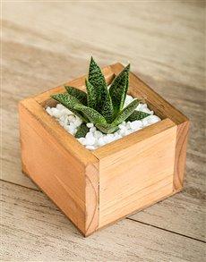 plants: Dainty Succulent Plant!