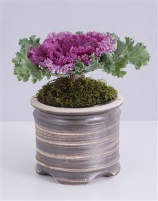 plants: Purple Kale Plant in Pot!