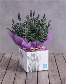 flowers: Lovely Lavender Box!