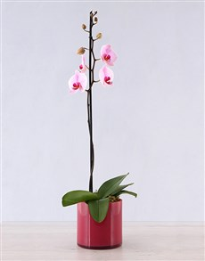 flowers: Orchid in Pink Cylinder Vase!