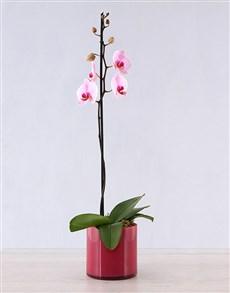 plants: Orchid in Pink Cylinder Vase!