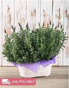 plants: Double Lavender Beauty!