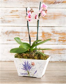 plants: Original Phalaenopsis Orchid!