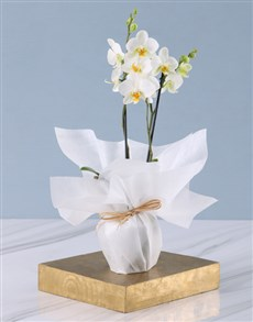 gifts: Tranquil Mini Phalaenopsis Orchid!