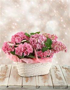 plants: Double Pink Hydrangea Basket!