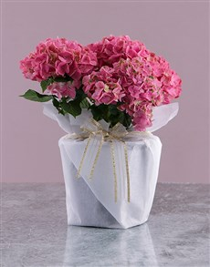 flowers: Pink Christmas Hydrangea Plant!