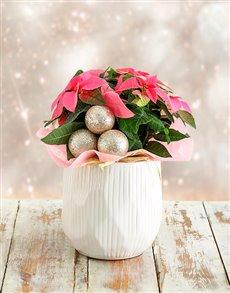 plants: Festive Poinsettia in White Bowl!