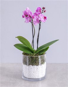 flowers: Midi Orchid in Cylinder with Stones!