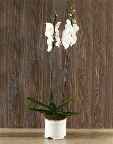 plants: Whisper Beijing Orchid!