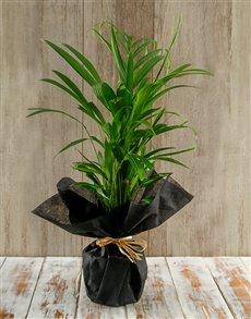 flowers: Amazing Areca Bamboo Plant!