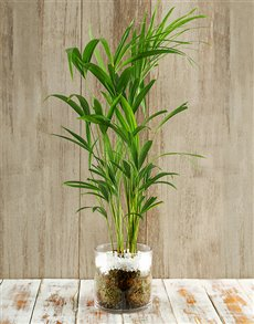 flowers: Rain Forest Delight Bamboo Plant!