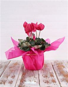 plants: Pink Cyclamen Happiness!
