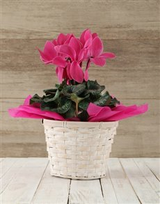 plants: Cerise Cyclamen in a Crysanth Basket!