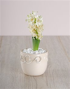 plants: White Hyacinth in a Cream Ceramic!